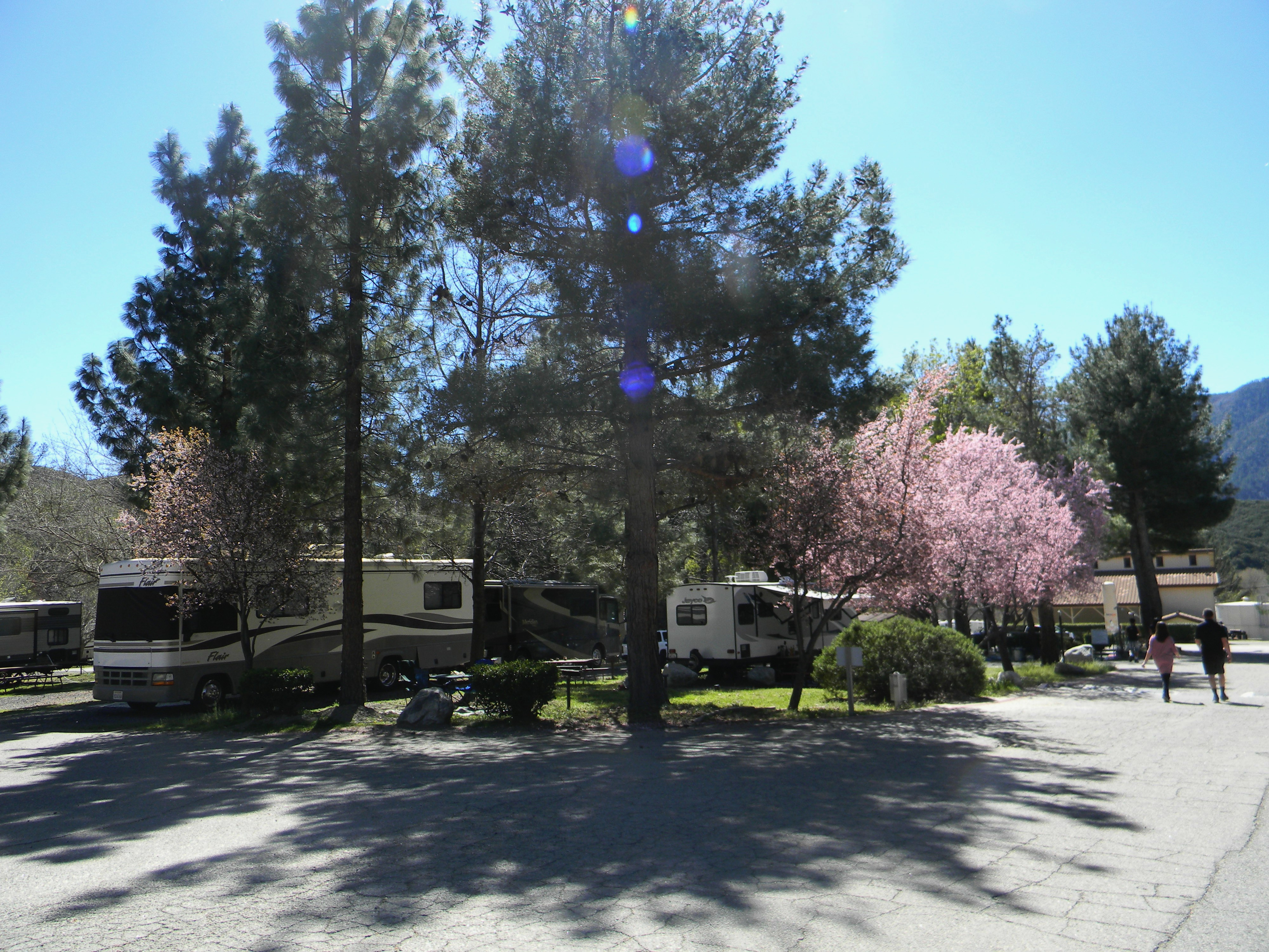 RV's under cherry blossom trees