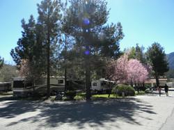 RV's under cherry blossom trees
