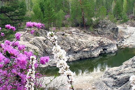 цветение маральник