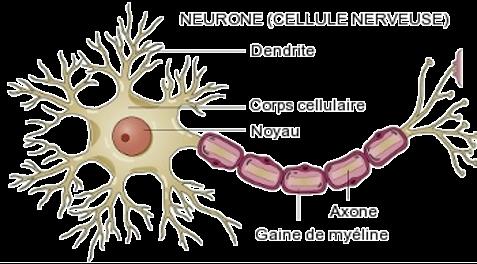Neurone, axone et dendrites