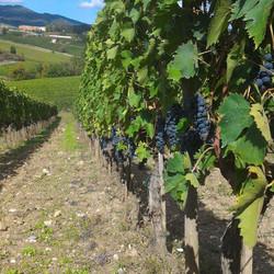 chianti classico wine tour, vineyards