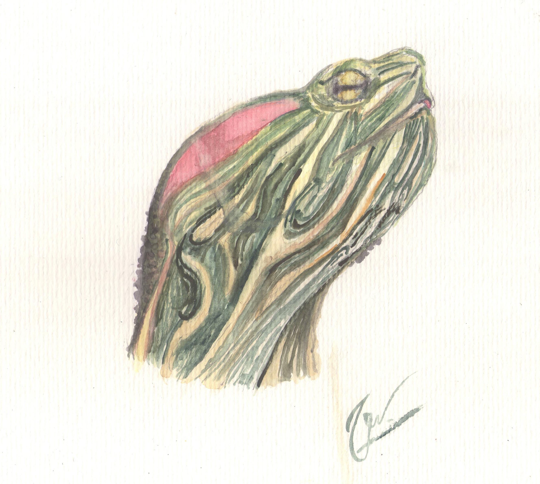 Tartaruga Tigre