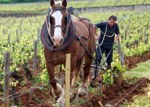 COP 21 : Solution des vignerons, la biodynamie