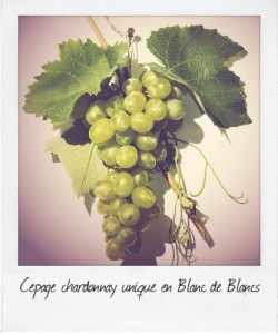 Grappe de chardonnay