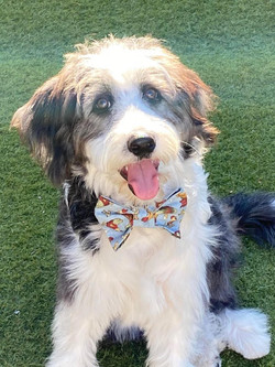 Our first Bordoodle boy... meet Tex.  Photo courtesy of his mommy.
