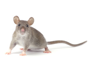 Tips to keep your home rodent free