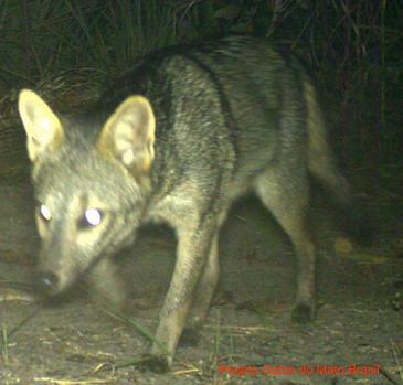 fox3.png