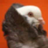 pigeonorange.jpg