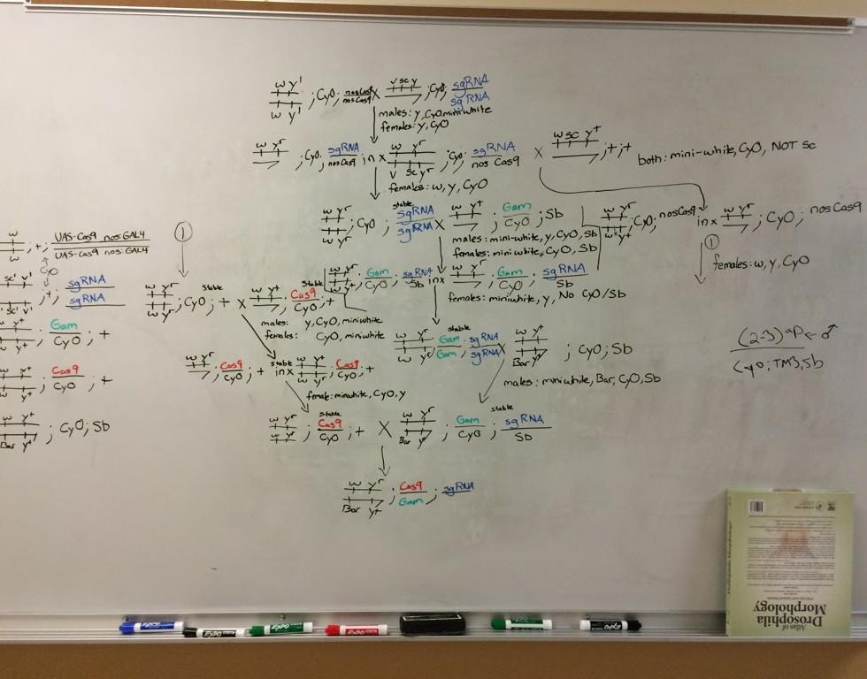 fly_genetics_whiteboard.jpg
