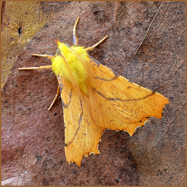 Canary Shouldered Thorn_David Hunter