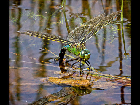 LPSC 2nd - Emperor Laying Her Eggs