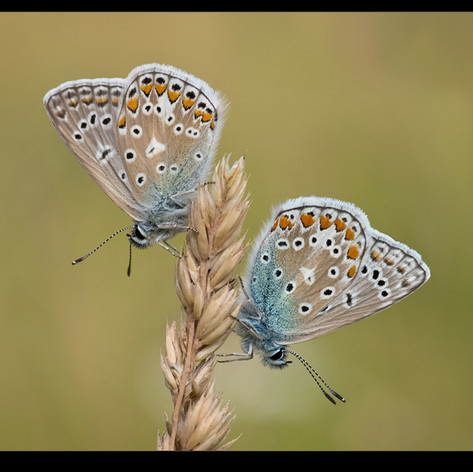Two Common Blues, Roosting