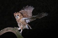 Night Tawny Owl