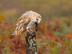 3rd Barn Owl with Mouse