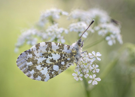 Female Orange Tip on Cow Parsley