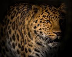 Leopard 7pts