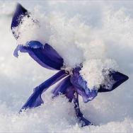 Frosty Iris