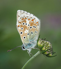 Male Chalkhill Blue
