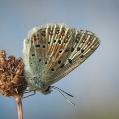 Resting Male Chalkhill Blue