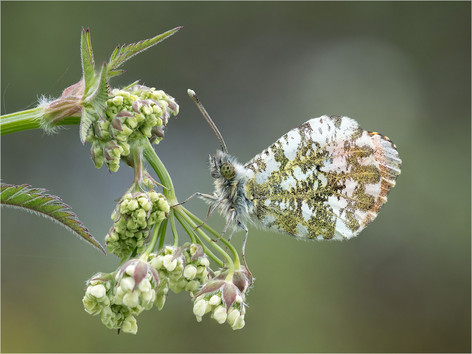 Male Orange Tip on Marjoram