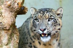 Snow Leopard 7pts