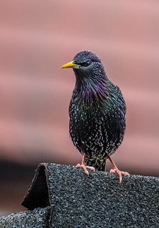 Rooftop Starling