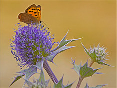 Small Copper on Sea Holly