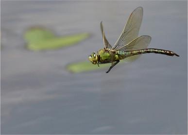 Emperor Dragonfly Jill Frankham