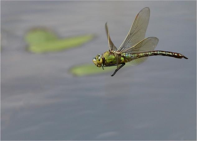 Emperor Drangonfly