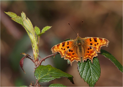 Comma on Bramble Shoot