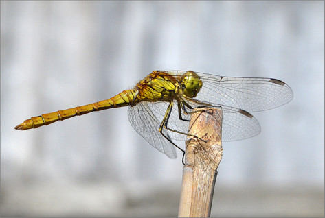 C - Common Darter - ♀︎.jpg
