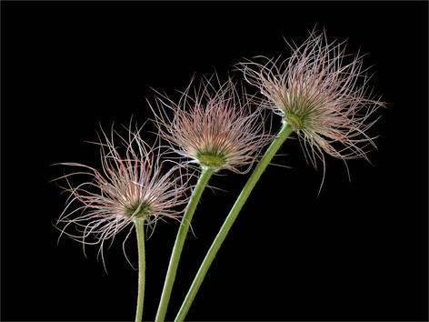 Pasque Seed Heads