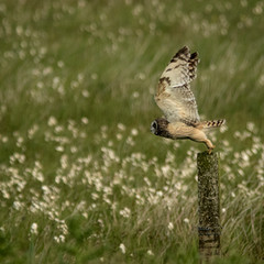 Short Eared Owl on North Uist