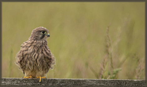 Kestrels First Outing