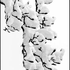 Snow Bough