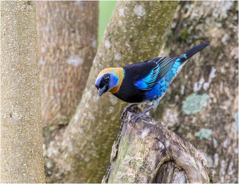 Giolden Hooded Tanager