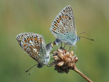 Mating Common Blues John Haddon