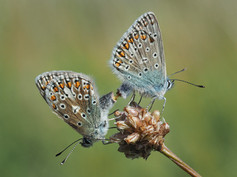 Mating Common Blues II