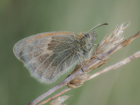 Small Heath on Grass Stem