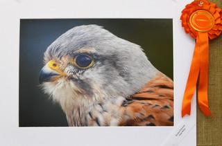 Kestrel Portrait - Paul Wiles