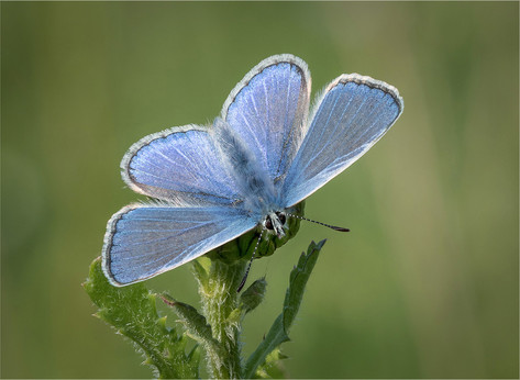 Sunning Common Blue