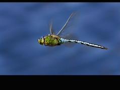 Green Dragonfly 5pts