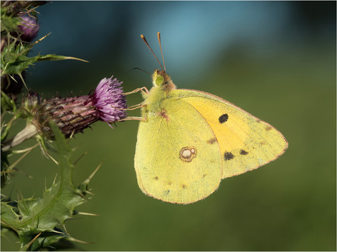 Nectaring Clouded Yellow
