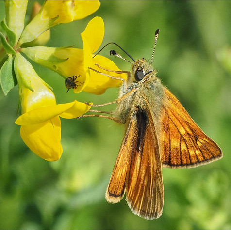 Large Skipper and Friend