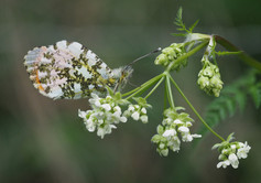 Highly Commended      Male Orange Tip on Cow Parsley J Haddon