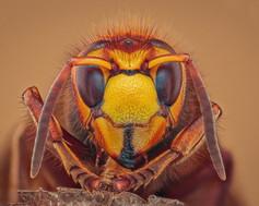 Hornet Profile - 9