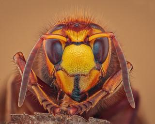 Hornet Profile