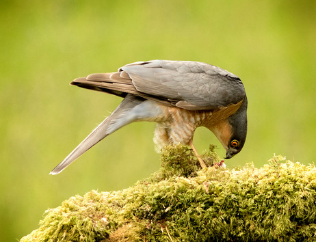 Sparrowhawk feeding