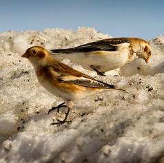 Male & Female Snow Buntings