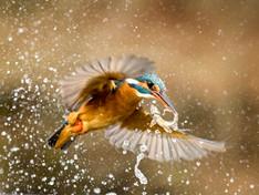 Kingfisher Feeding Time